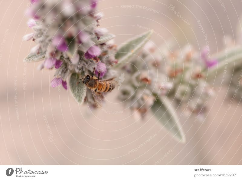 Honeybee, Hylaeus, gathers pollen Nature Plant Animal Spring Flower Blossom Farm animal Bee Wing 1 Brown Yellow Gold Green Violet Pink Black Colour photo