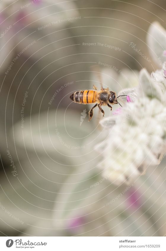 Honeybee, Hylaeus, gathers pollen Nature Plant Animal Spring Flower Blossom Garden Farm animal Bee 1 Brown Yellow Gold Green Violet Pink Black Colour photo
