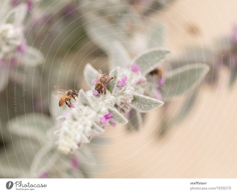 Honeybee, Hylaeus, gathers pollen Nature Plant Animal Spring Flower Blossom Farm animal Bee Wing 2 Brown Yellow Gold Green Violet Pink Black Colour photo