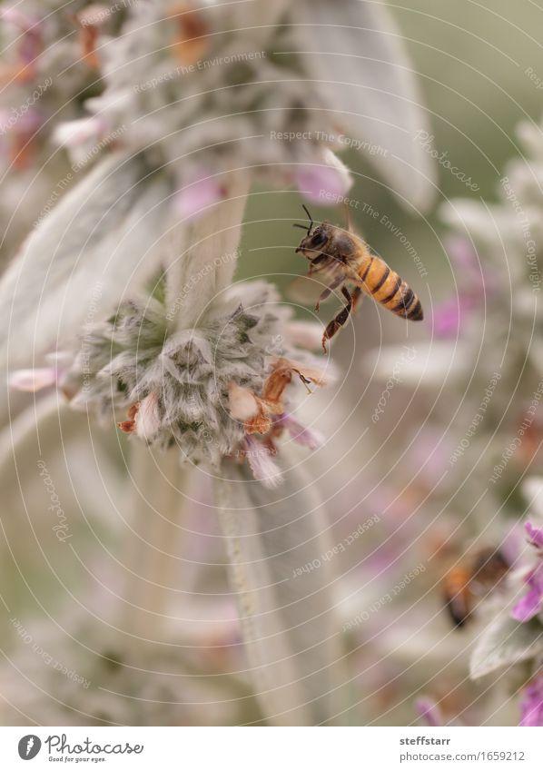 Honeybee, Hylaeus, gathers pollen Nature Plant Animal Spring Flower Blossom Farm animal Bee 1 Brown Yellow Gold Green Violet Pink Black Colour photo