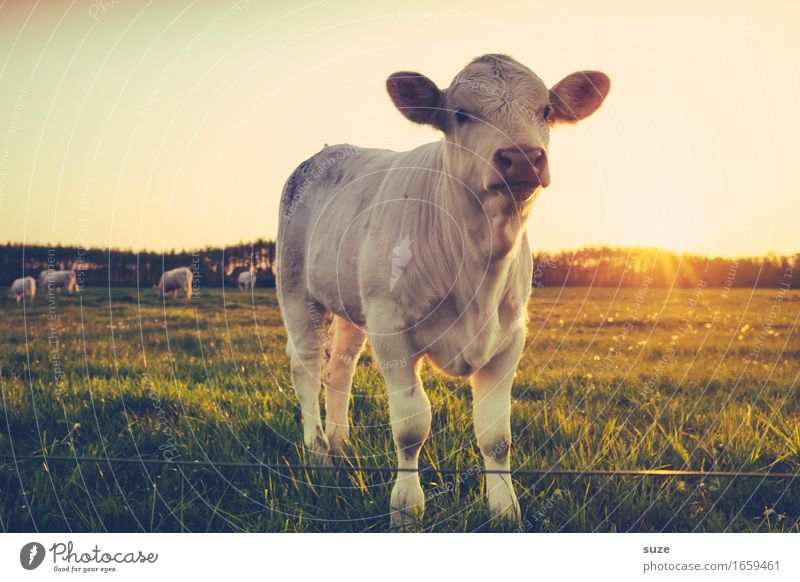 Nature Summer Animal Baby animal Environment Meadow Field Cute Pasture Country life Cattle Farm animal Calf