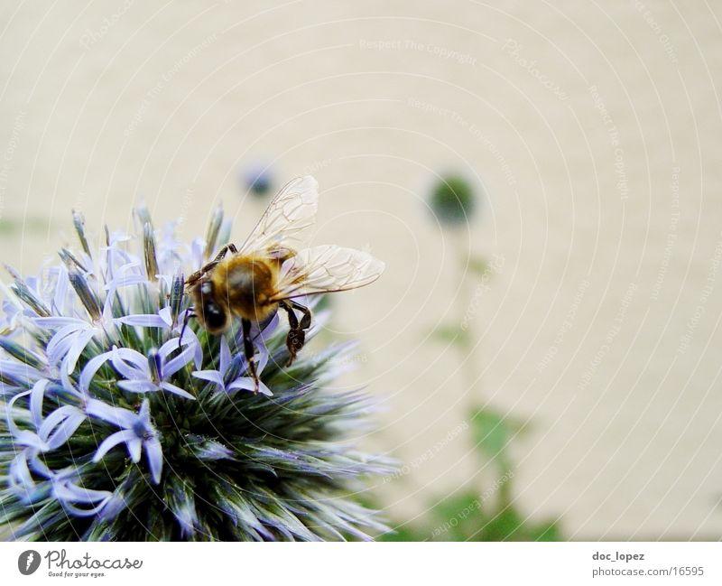 Flower Blue Summer Bee Partially visible Diligent Stamen Nectar