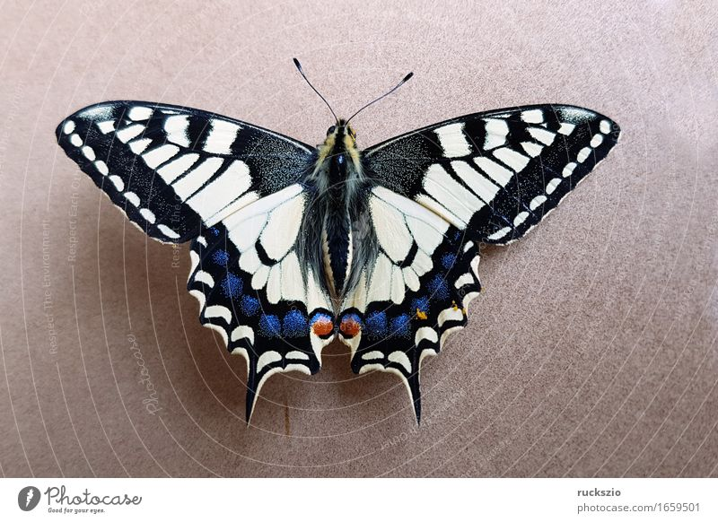 Swallowtail; Papilio; machaon; Butterfly; Butterfly; Butterfly Free Black White butterflies Insect Noble butterfly spotted butterfly precious butterfly Neutral