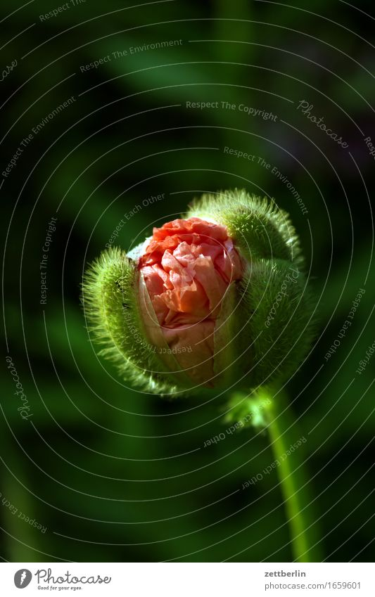 More Poppy Flower Blossoming Bud Peaceful Garden Grass Seed plant Poppy capsule Poppy leaf Corn poppy Nature Calm Summer Copy Space Growth Water Drops of water
