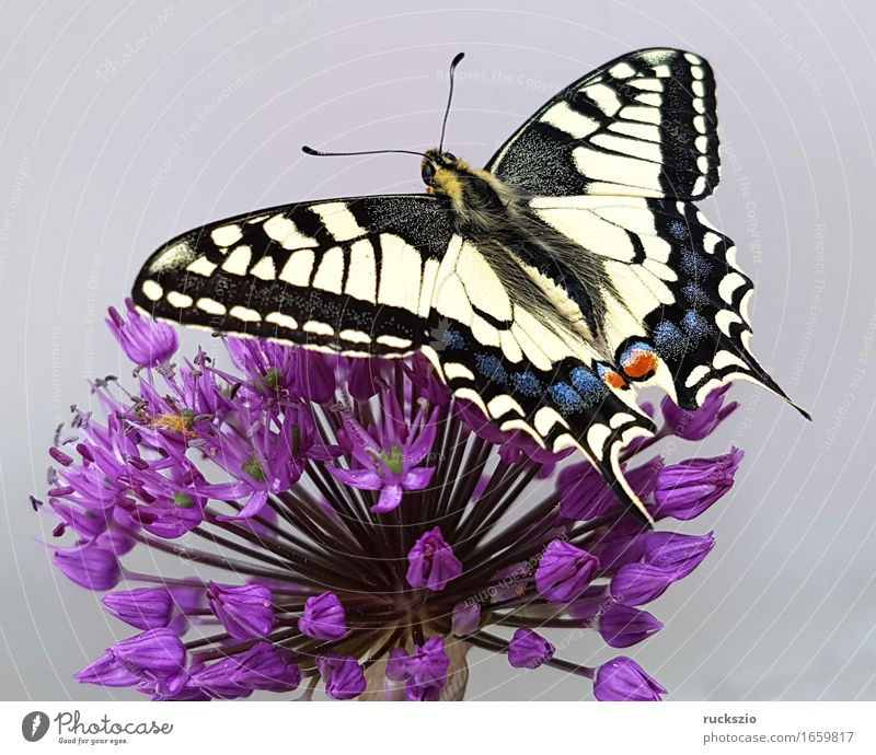 Swallowtail; Papilio; machaon; Butterfly; Butterfly; Butterfly Wild animal Free Black White butterflies Insect Noble butterfly spotted butterfly