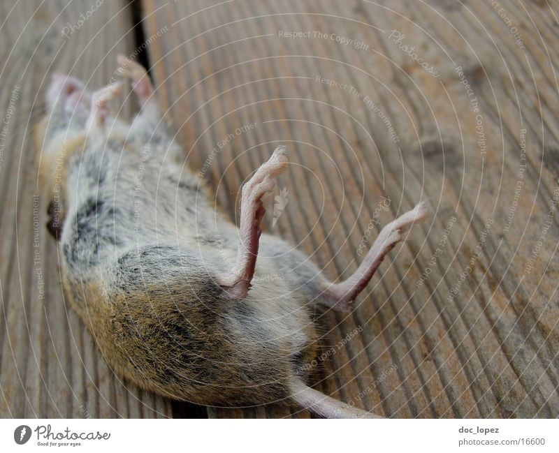 Jerry Garcia is dead. Mammal Mouse Death the cat was faster Tom has finally won small rodent lie on one's back small fur bearing animal
