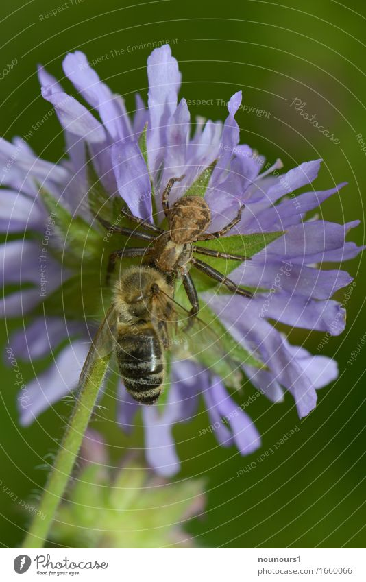 fat prey Nature Plant Animal Spring Meadow Wild animal Spider Wing Bee 2 Movement Blossoming Catch Hang Hunting Fight Crawl Aggression Threat Creepy Astute Blue