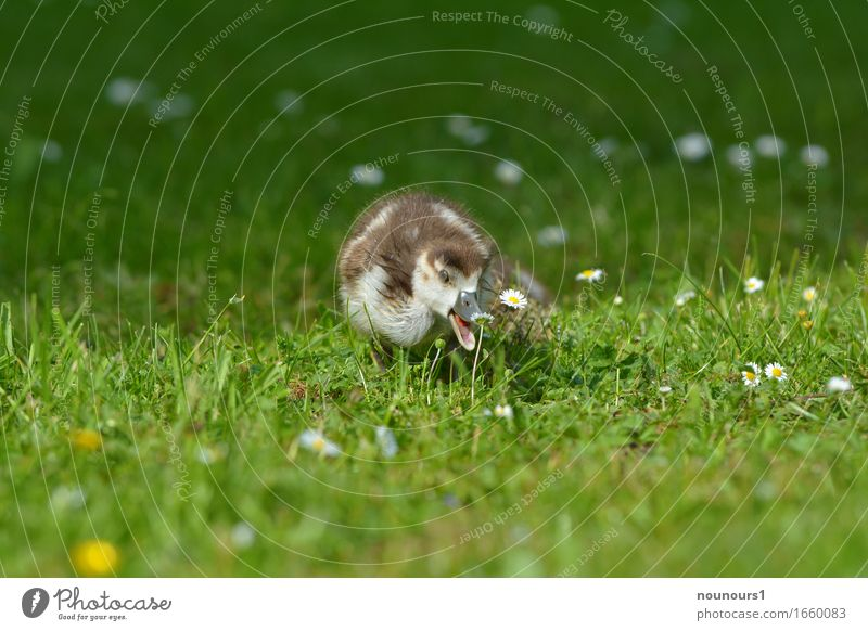 place there Nature Plant Animal Grass Blossom Park Meadow Wild animal Nile Goose Nile geese nilgan chicks Chick 1 Baby animal Movement Running Looking Brash