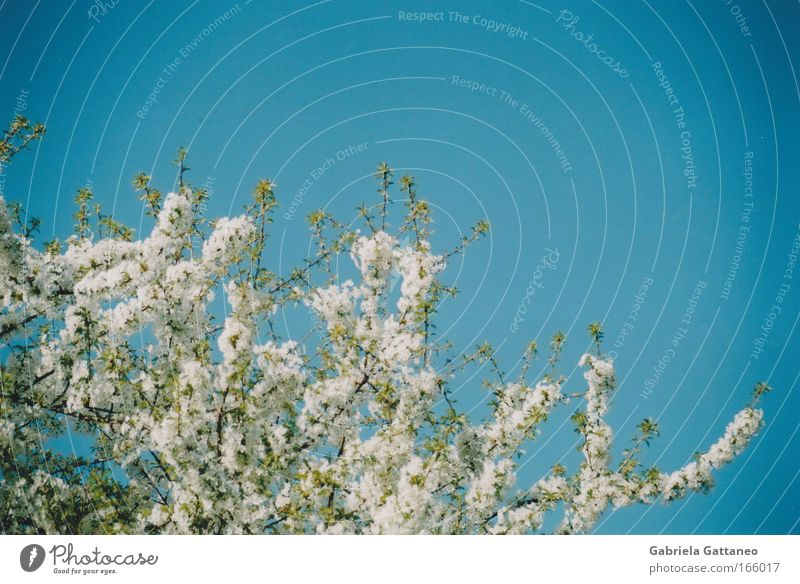 Beautiful White Tree Blue Plant Spring Warmth Esthetic Growth Change Blossoming Hang Beautiful weather