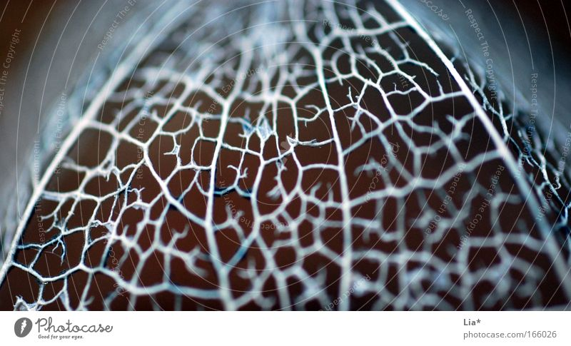 Plant Leaf Blossom Glittering Network Macro (Extreme close-up) Silver Thought Interlaced Brain and nervous system Fragile Precious Physalis