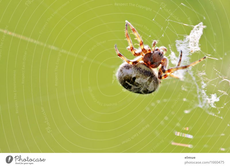 cross-linked Nature Animal Spider oak leaf spider Spider's web Articulate animals Net Sphere Ambush Observe Wait Threat Fat Disgust Creepy Astute Near Smart