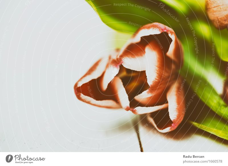 Red Tulip Close Up In Spring Environment Nature Plant Flower Leaf Blossom Blossoming Fresh Beautiful Natural Retro Multicoloured Green Pink White Spring fever