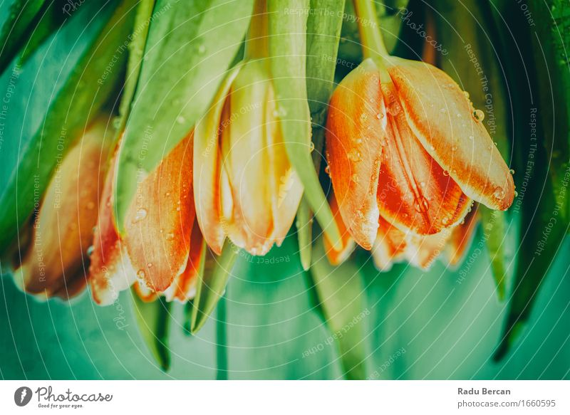 Top View Of Fresh Wet Tulips On Table Environment Nature Plant Drops of water Spring Flower Leaf Blossom Garden Blossoming Beautiful Above Clean Multicoloured