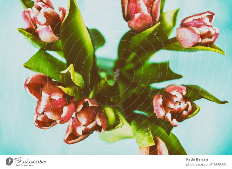 Wet Pink Tulip Flowers In Vase Nature Plant Blue Colour Beautiful Green Red Leaf Environment Blossom Spring Blossoming Bouquet Passion
