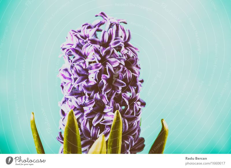 Common Dutch Garden Hyacinth (Hyacinthus Orientalis) Nature Plant Blue Colour Beautiful Green Flower Leaf Environment Life Blossom Spring Blossoming Violet