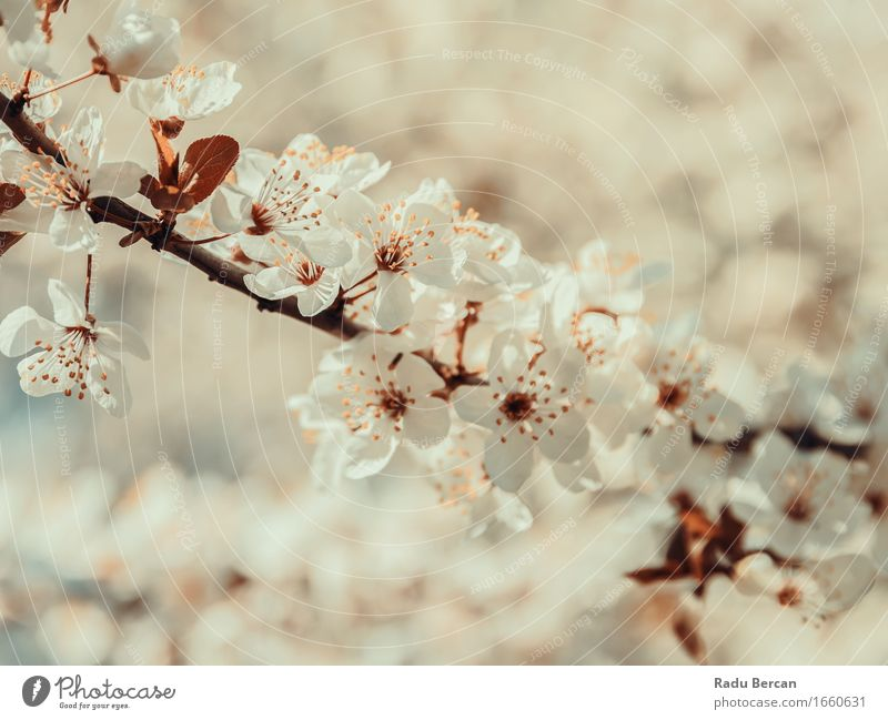 White Tree Flowers Spring Blossom Environment Nature Plant Leaf Blossoming Beautiful Brown Orange Spring fever Colour Pure Close-up Branch Spring flower