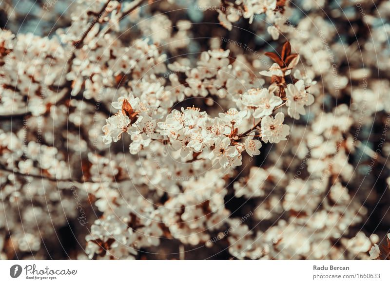 White Apple Tree Flowers Spring Blossom Environment Nature Plant Climate Leaf Garden Park Forest Blossoming Fresh Beautiful Multicoloured Red Spring fever