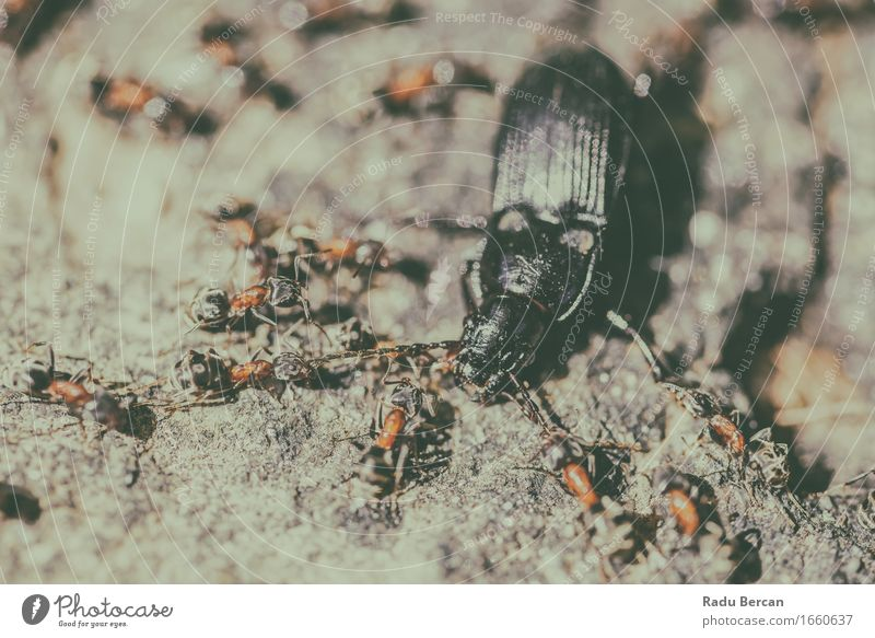 Colony Of Ants Atacking And Eating Beetle Animal Group of animals To feed Feeding Hunting Crawl Aggression Threat Creepy Strong Many Wild Gray Orange Black