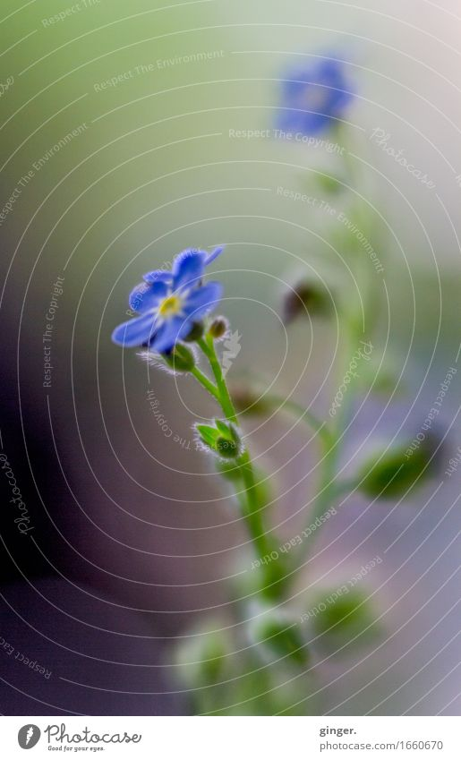 Nature Blue Plant Green Flower Small Growth Blossoming Violet Delicate Bud Smooth Vertical Progress Graceful