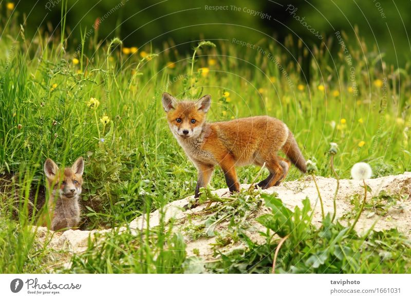 cute fox cub Dog Nature Green White Red Animal Face Baby animal Meadow Grass Small Brown Wild Wild animal Cute
