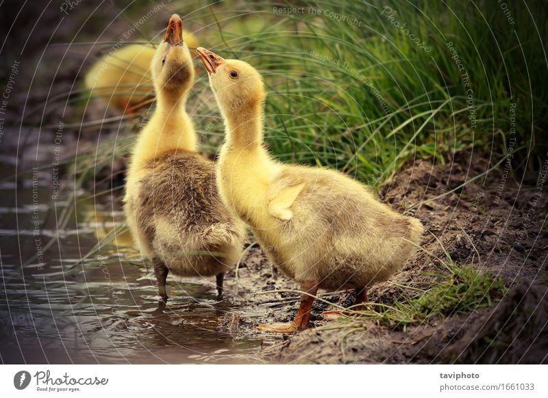 cute gooslings drinking water Nature Animal Yellow Life Natural Grass Coast Small Lake Bird Together Park Feather Baby Cute Drinking