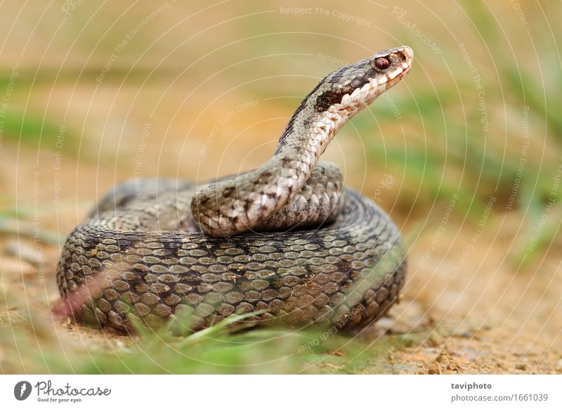 female berus viper in defensive position Woman Nature Beautiful Animal Adults Natural Gray Brown Wild Fear Wild animal Dangerous Photography European Poison