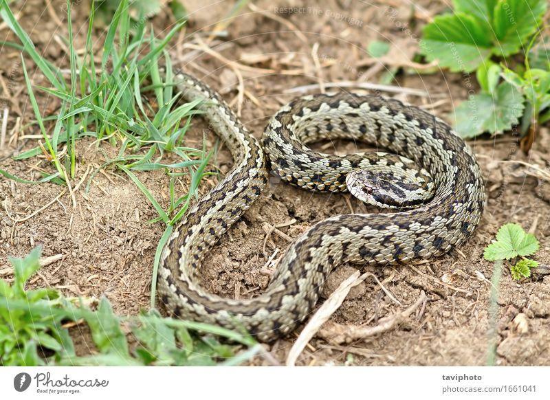 male Vipera ursinii rakosiensis on natural habitat Beautiful Nature Animal Meadow Snake Wild Brown Fear Dangerous Romania scales reptilian adder predator
