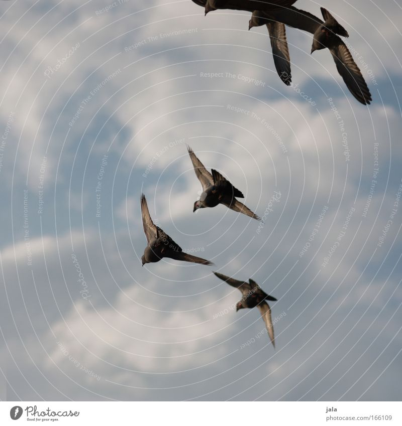 Sky Animal Bird Flying Free Group of animals Pigeon Flock