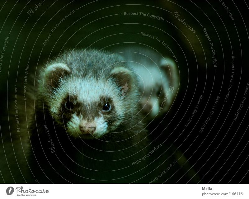 The Double Ferret Animal Wild animal Animal face Pelt Western polecat 2 Observe Looking Dark Together Curiosity Cute Agreed Loyal Friendship Watchfulness