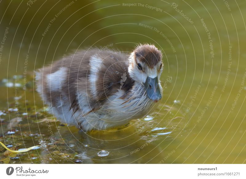 brrrr Plant Animal Wild animal Nile Goose nilgan chicks 1 Baby animal Movement Discover Freeze Swimming & Bathing Stand Brown White Joy Happiness Curiosity