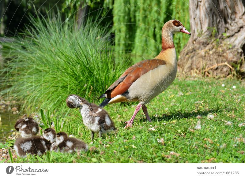 Mama watches Animal Wild animal Nile Goose Nile geese nilgan chicks Group of animals Baby animal Animal family Swimming & Bathing Touch Movement Going Lie