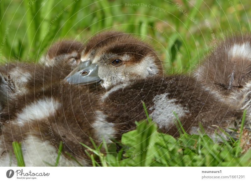 security Animal Wild animal nilgan chicks Touch Relaxation Freeze Crouch Lie Sit Natural Curiosity Cute Soft Brown White Contentment Joie de vivre (Vitality)