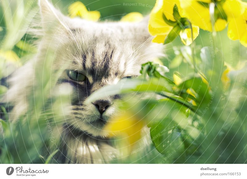 Cat hidden in yellow plants - eye contact Colour photo Exterior shot Deserted Day Sunlight Shallow depth of field Central perspective Animal portrait