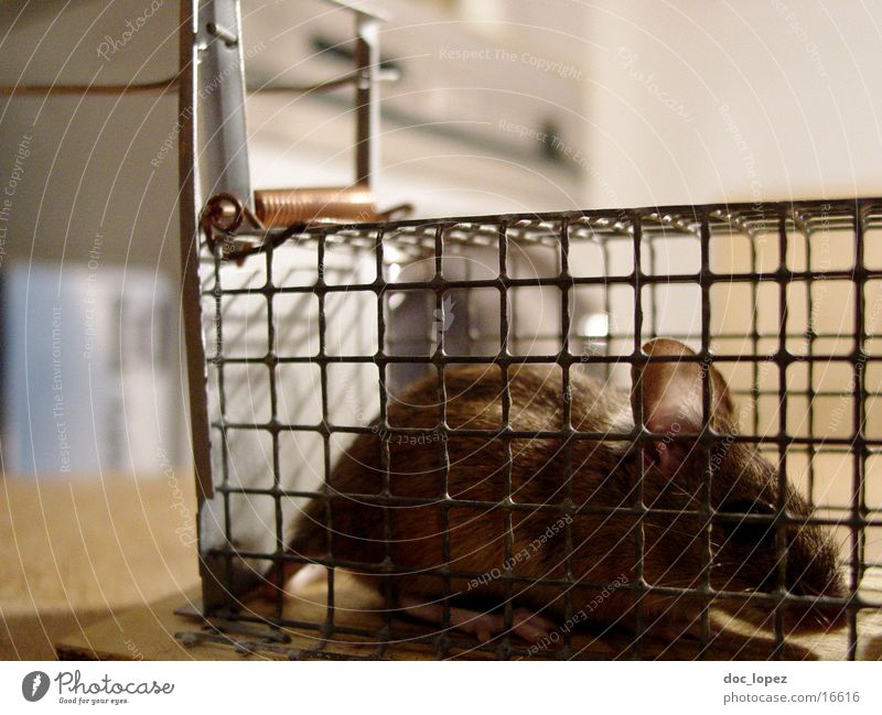 Brown Ear Cute Pelt Mouse Captured Tails Cage Ambush Mouse trap