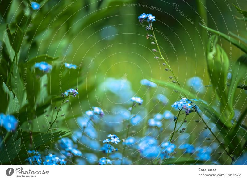 blue and green Nature Plant Flower Leaf Blossom Wild plant Forget-me-not Garden Blossoming Faded Growth Esthetic Happiness Blue Green Turquoise Emotions Love
