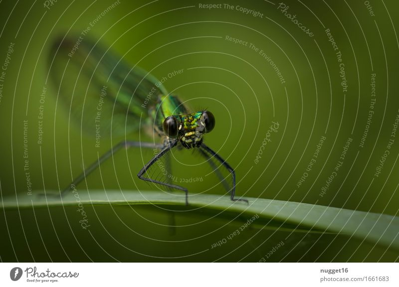 banded dragonfly (Calopteryx splendens) ♀ Nature Animal Wild animal Dragonfly Demoiselles 1 Observe Sit Esthetic Exotic Astute Natural Curiosity Green