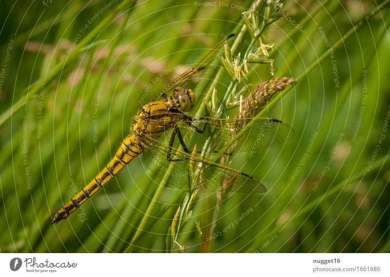 Large Blue Arrow Nature Animal Meadow Wild animal Wing Dragonfly 1 Sit Exotic Natural Feminine Brown Yellow Green Love of animals Colour photo Exterior shot
