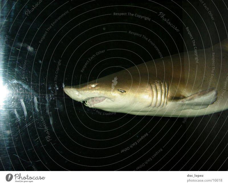 hi fish Shark Beast Dark Ocean Dangerous Thief Threat Fish Wild animal Water Set of teeth Hunting