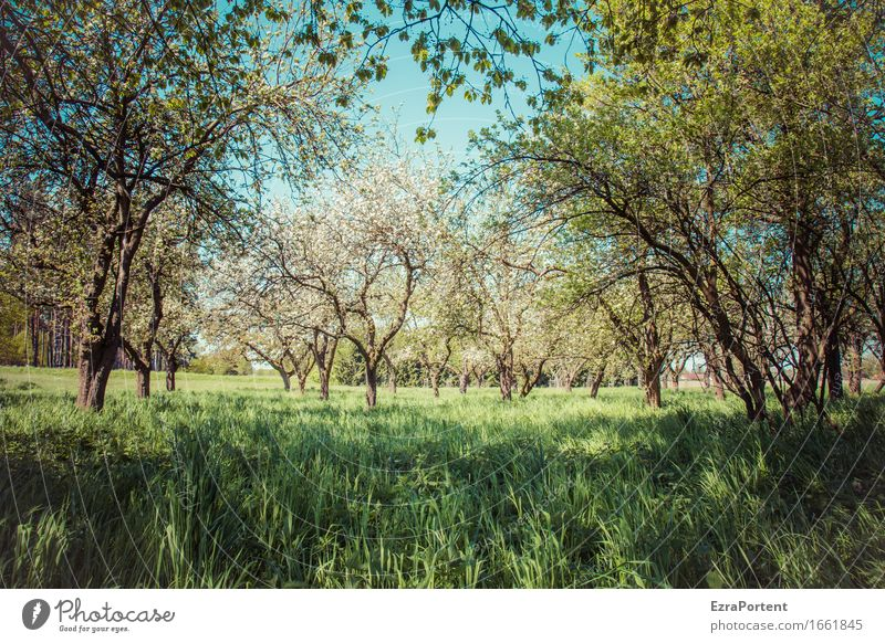 orchard meadow (shade) Environment Nature Plant Sky Spring Summer Climate Beautiful weather Tree Grass Leaf Blossom Foliage plant Agricultural crop Wild plant