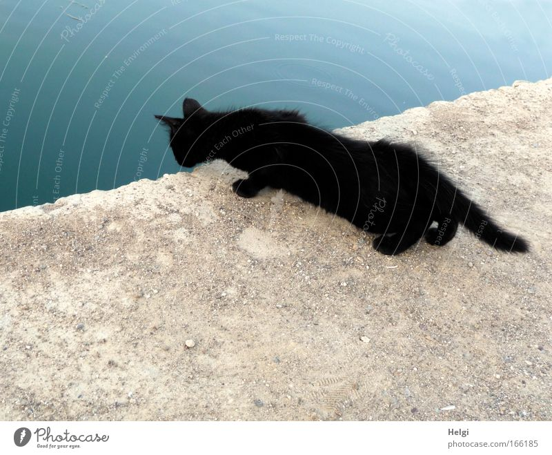 young black cat looks anxiously over the edge of a wall into the water Colour photo Exterior shot Deserted Copy Space top Copy Space bottom Day Contrast