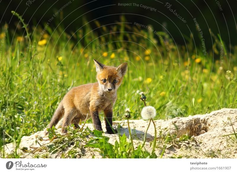 cute red fox cub looking at camera Beautiful Hunting Camera Baby Nature Animal Grass Forest Fur coat Dog Baby animal Stand Small Cute Wild Red vulpes Fox