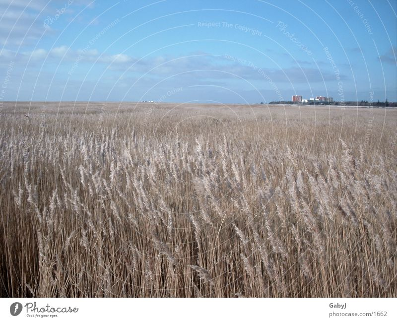 St Peter Order Coast Winter Common Reed Schleswig-Holstein Sky Cloud formation Blue Panorama (View) Europe North Sea Far-off places St. Peter-Ording sea