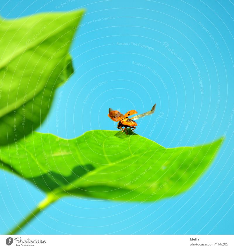permission to start granted Nature Plant Animal Cloudless sky Spring Summer Leaf Foliage plant Wild animal Beetle Wing Ladybird 1 Good luck charm Flying Free