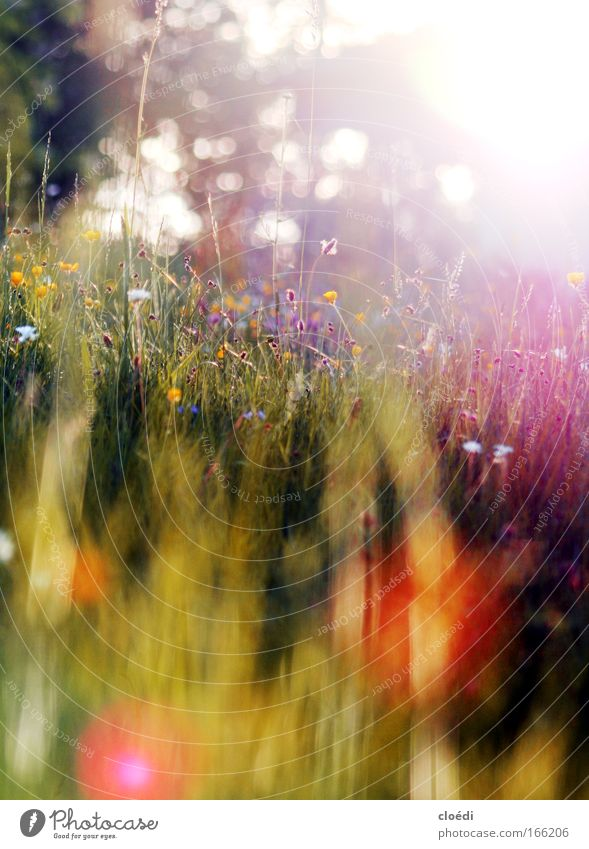 summer meadow Colour photo Multicoloured Exterior shot Deserted Copy Space top Copy Space bottom Evening Twilight Light (Natural Phenomenon) Sunlight Sunbeam