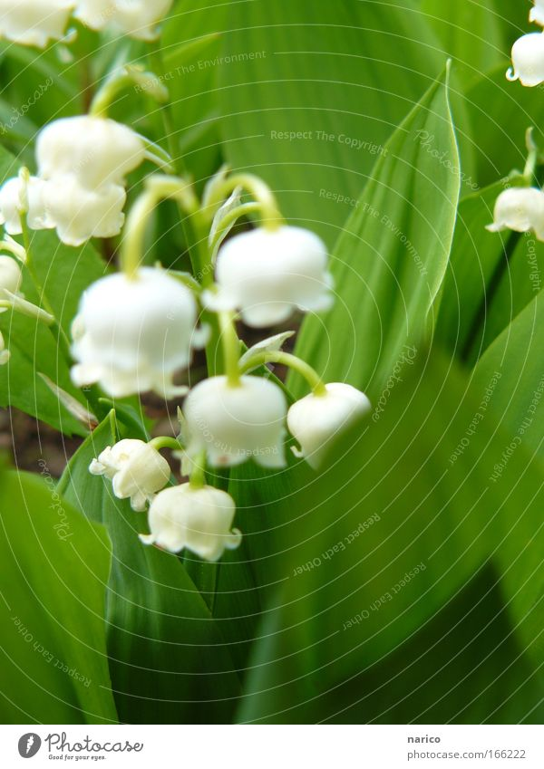 lily of the valley Colour photo Exterior shot Close-up Macro (Extreme close-up) Day Blur Shallow depth of field Central perspective Nature Plant Earth Spring