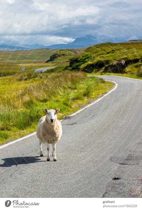 Single stock stands on street in Scotland Sheep Street Lanes & trails Travel photography Agriculture Livestock Farm animal Wool Animal Landscape Nature