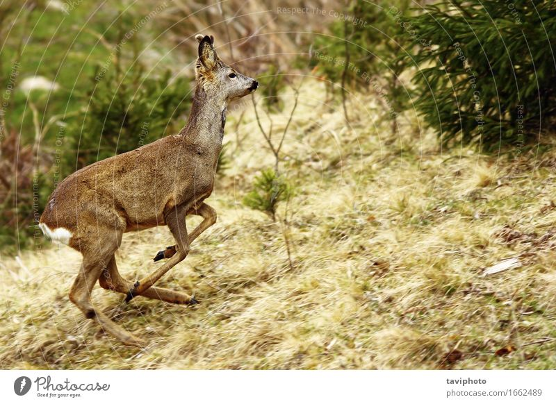 roe deer running Nature Beautiful Green Animal Forest Life Grass Natural Playing Brown Jump Wild Free Beauty Photography Running European