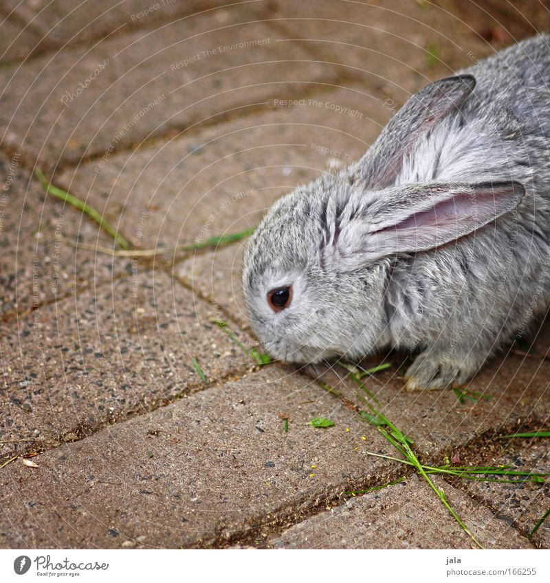 Mr. Rabbit Animal Pelt Paw Zoo Petting zoo 1 Gray Hare & Rabbit & Bunny Colour photo Subdued colour Exterior shot Copy Space left Day Animal portrait
