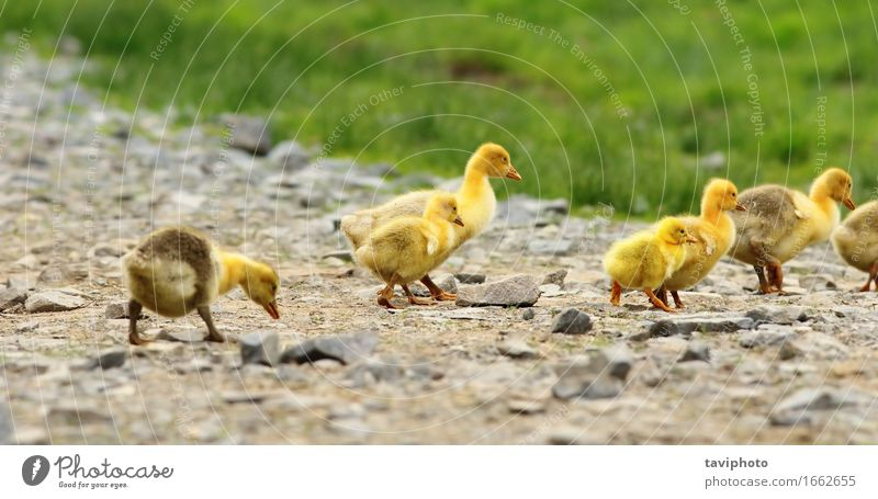 cute yellow goslings Beautiful Life Baby Friendship Nature Landscape Animal Spring Grass Bird Small Funny New Cute Yellow Green goose Chick Gosling Farm geese