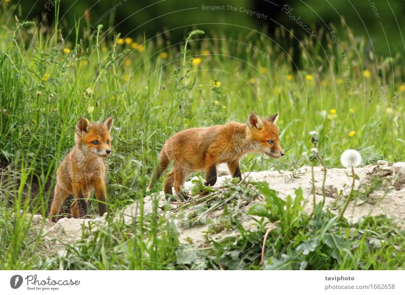 fox cubs near the burrow Happy Beautiful Face School Baby Woman Adults Family & Relations Friendship Nature Animal Grass Fur coat Dog Baby animal Small Near